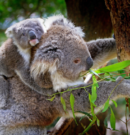 Rescued Koalas Finally Being Released Back Into the Wild After Australia's Bushfires