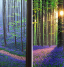 There's a Mystical Forest in Belgium Carpeted With Bluebell Flowers