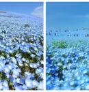 4.5 Million Flowers Bloom Across Japanese Park Like a Never-Ending Sea of Blue Lights